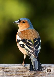 Fringilla_coelebs_chaffinch_male_edit2