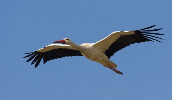 ooievaar-white-stork-04